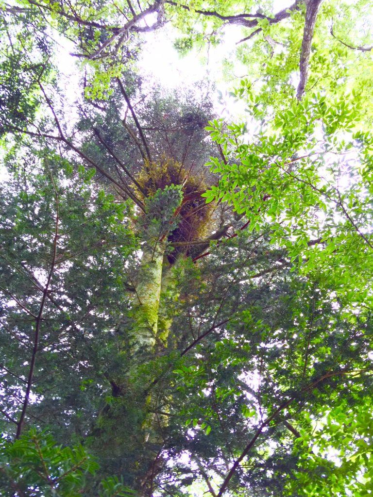 モミの木2