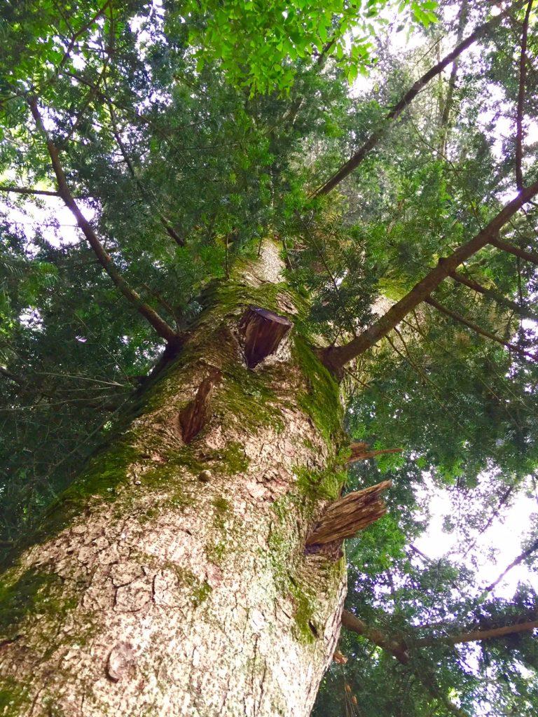 モミの木1
