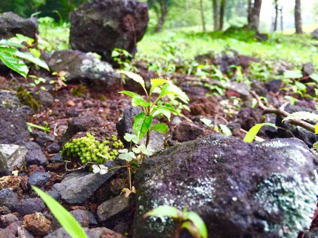 溶岩の上の植生。