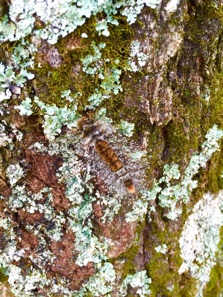 マメドクガ幼虫。