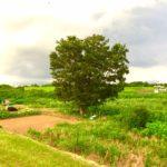 今日の樹木 vol.3 「エノキ」人の営みを古代から見守る。