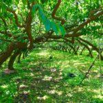 地域で歌を聴いてもらうということ。レポート「山梨県の森の旅、果樹園編」@南アルプス市