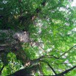 今日の樹木vol.6「イチョウ」。まるで巨大な城のような木。