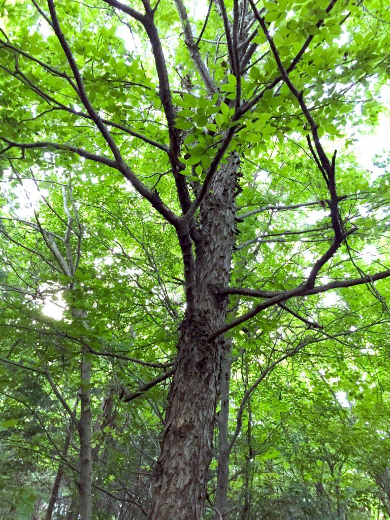 アサダの木。
