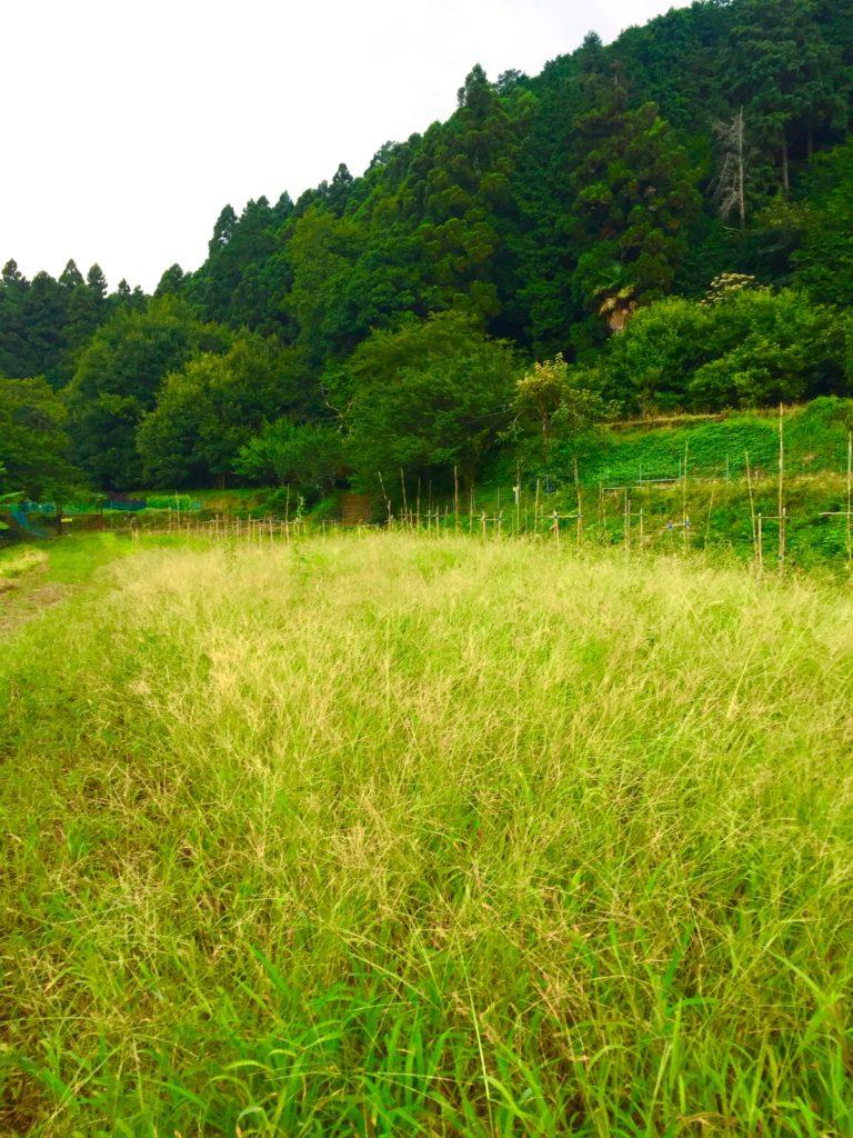 ネギの草原。