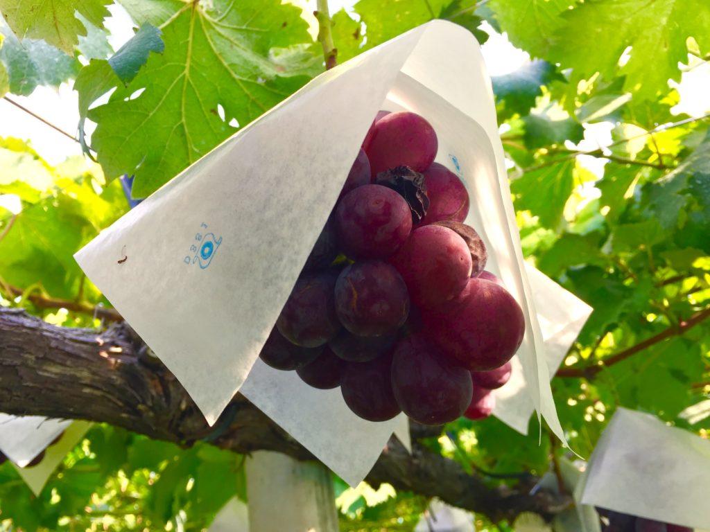 種なしブドウ。