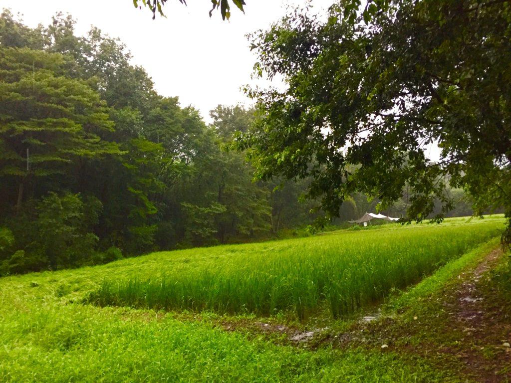 サシバの里自然学校の田んぼ。