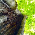 今日の樹木vol.5「ブナ」森の女王と呼ばれる木。下見レポート「奥利根水源の森」