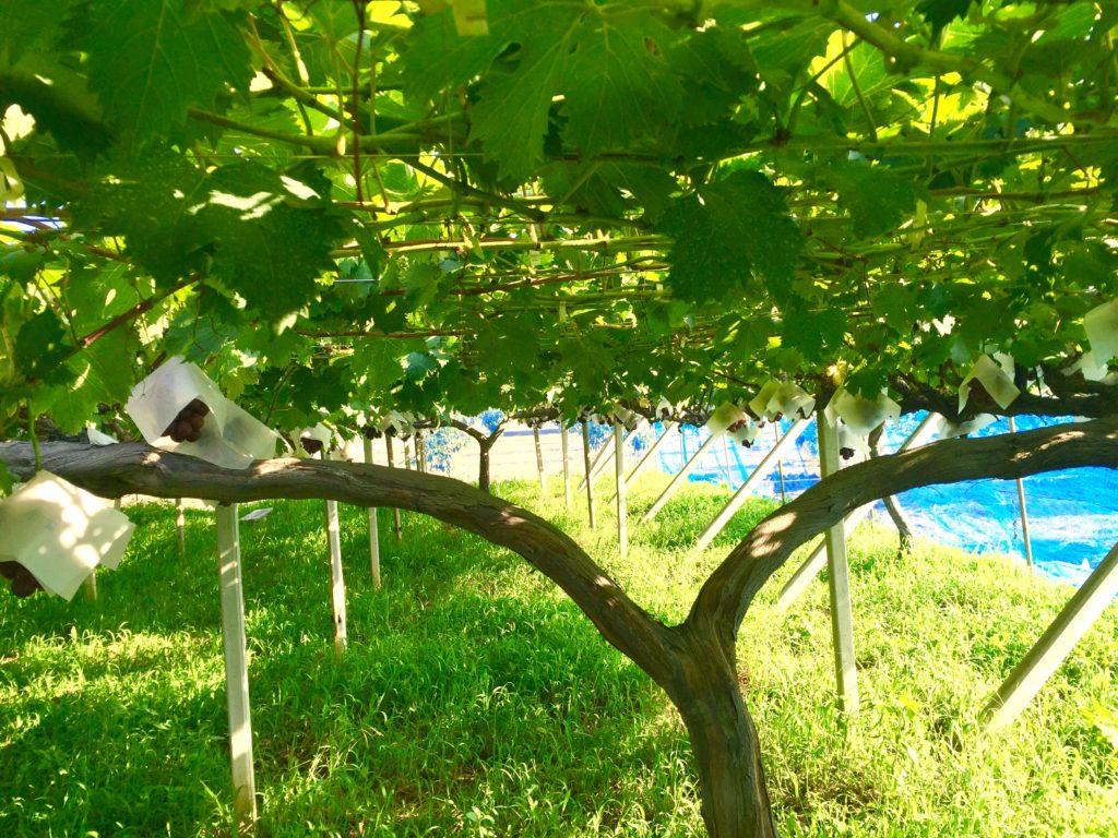 Y字になったブドウの木。