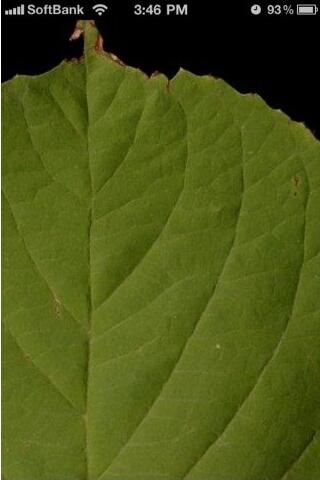 leafsnap葉っぱのアップ画像