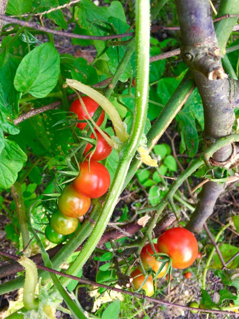 自然農のトマト。