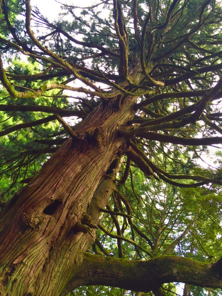 若宮の大杉。