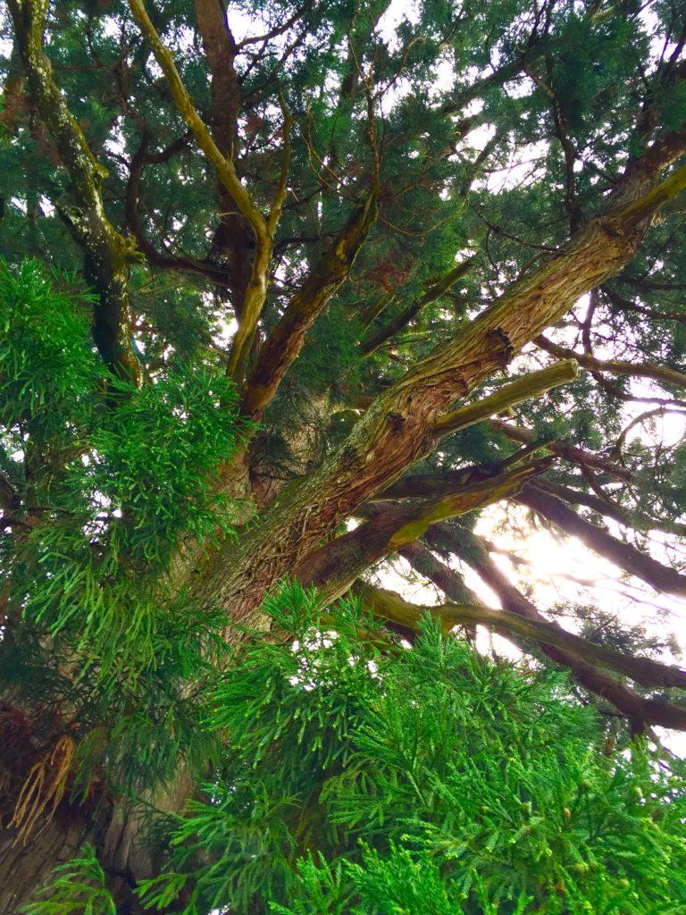 おばけ杉。