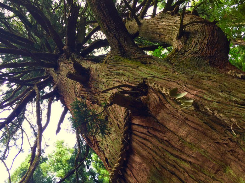 若宮の大杉2