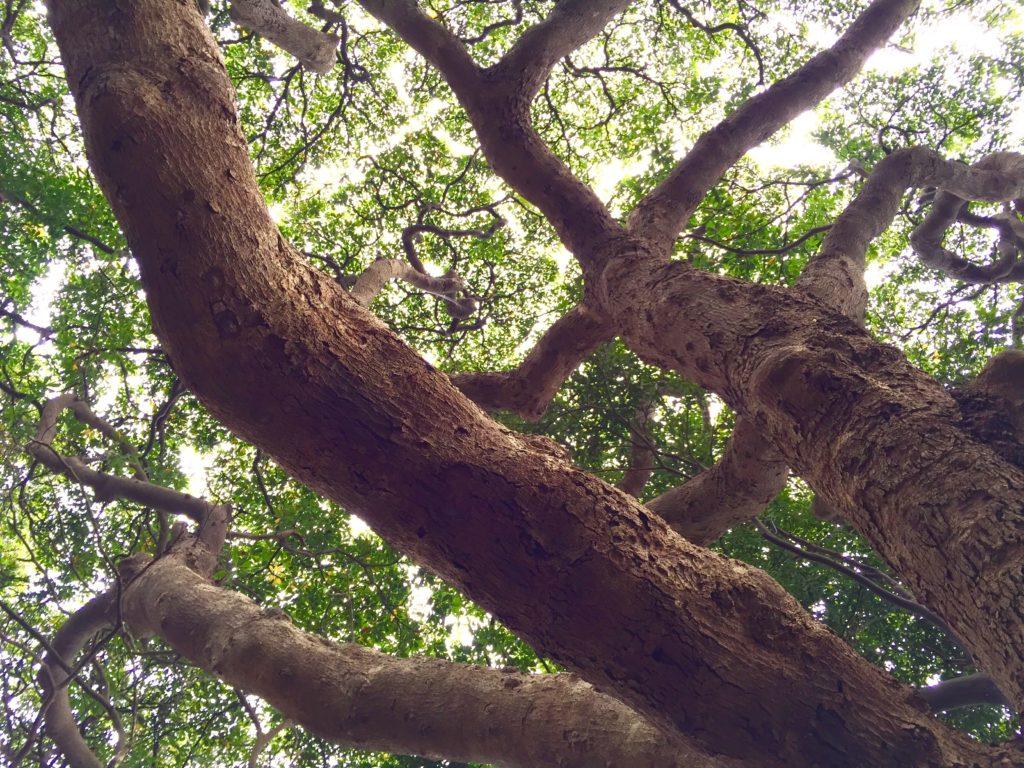 入り組んだ枝のタブノキ。