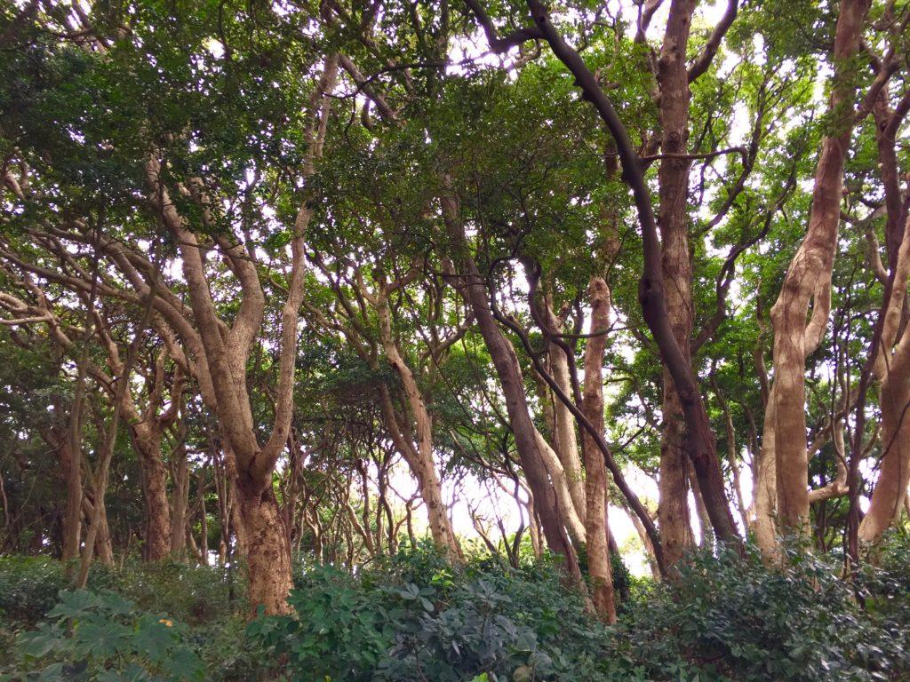 ヤブニッケイの純林。