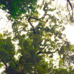 今日の樹木「イチイガシ」人は遥か昔から同じ問題を抱えている。臼杵市東神野。