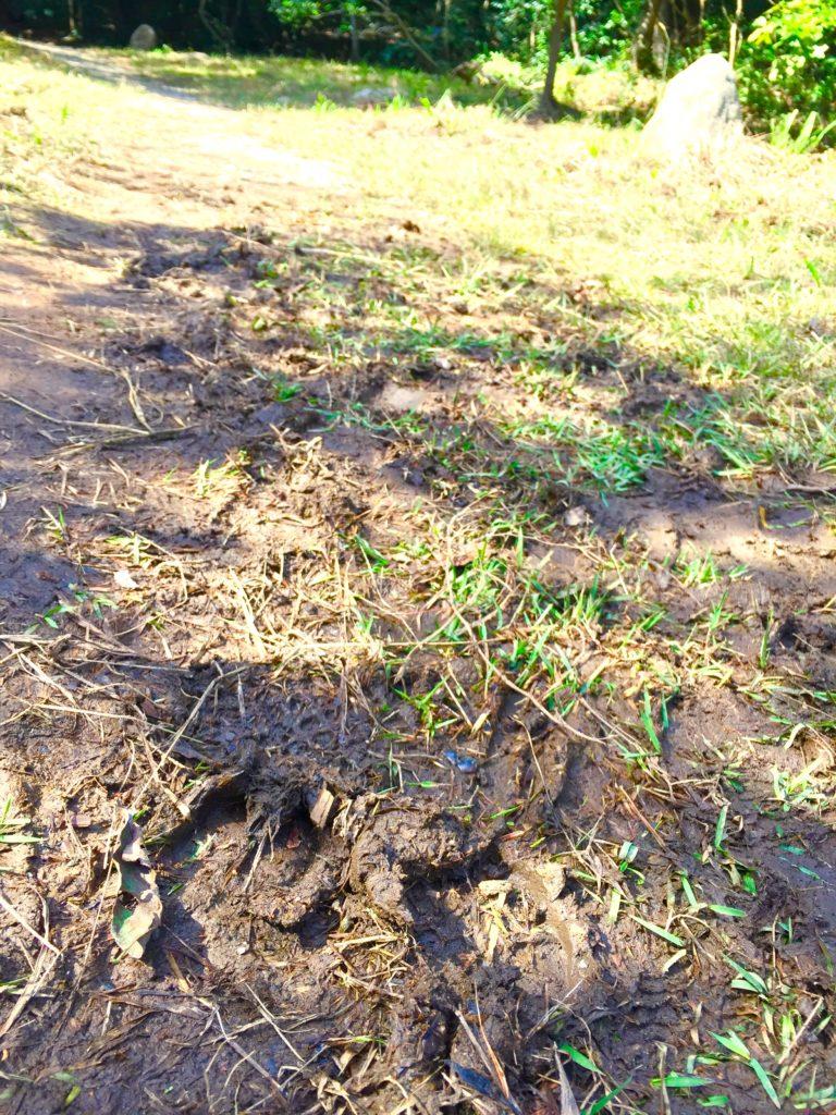 イノシシの足跡。