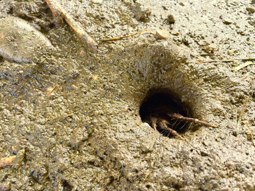 カニの巣穴。