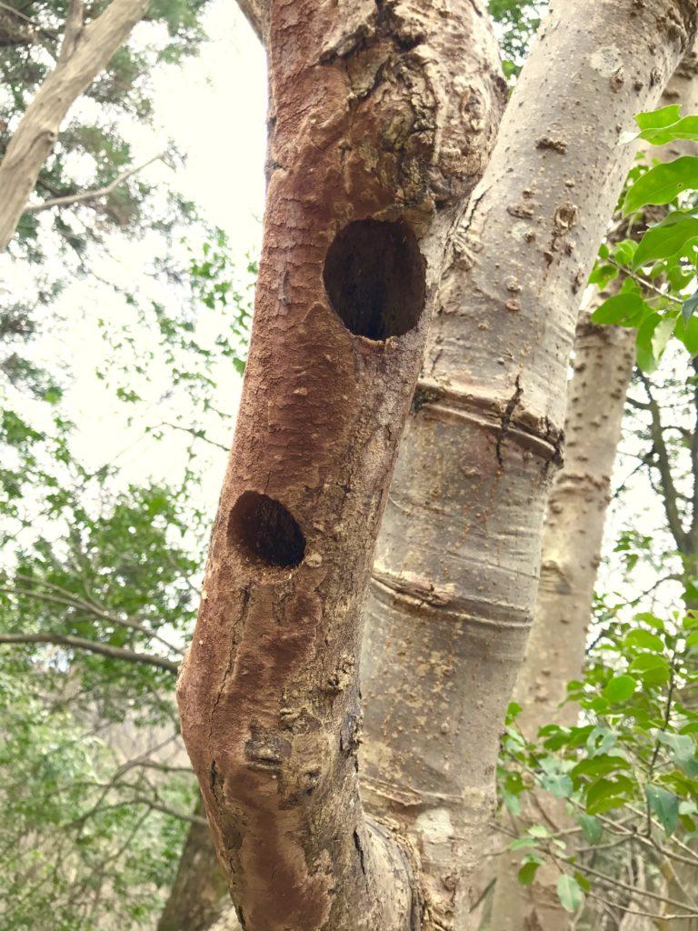コゲラの巣。