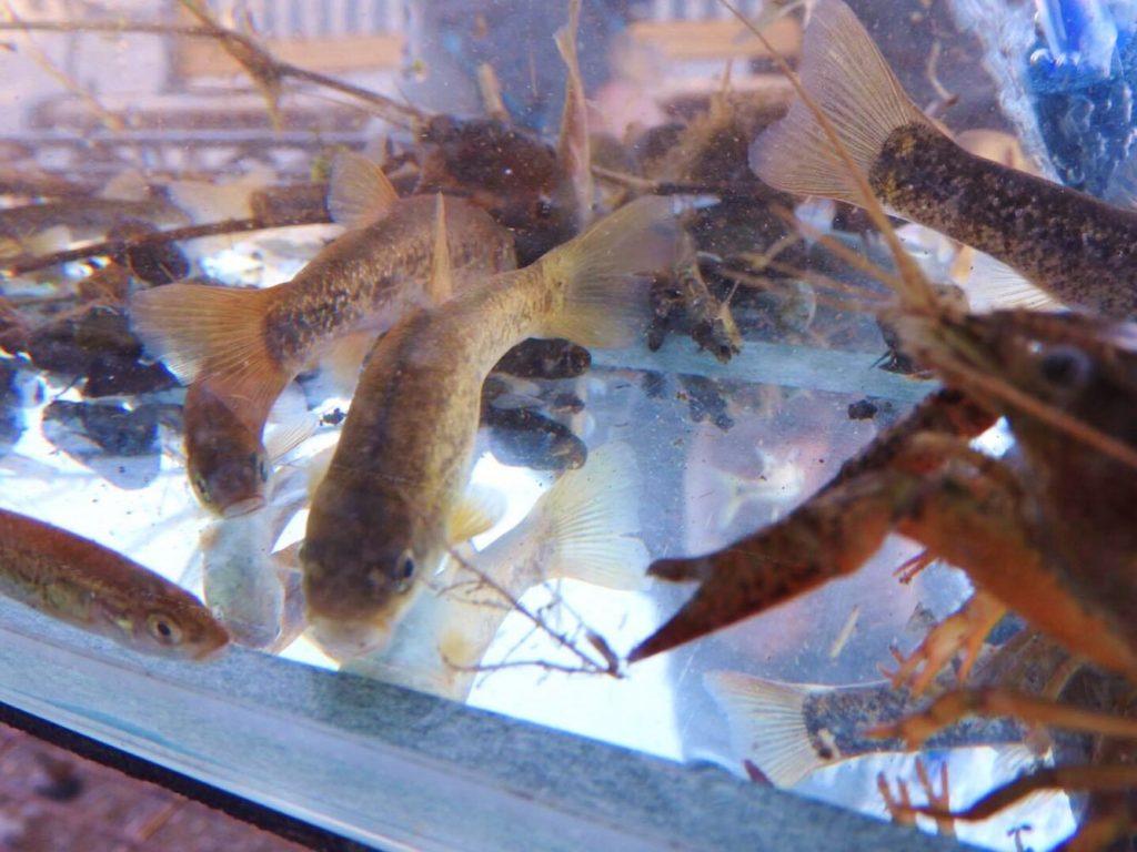 落合川の魚たち。