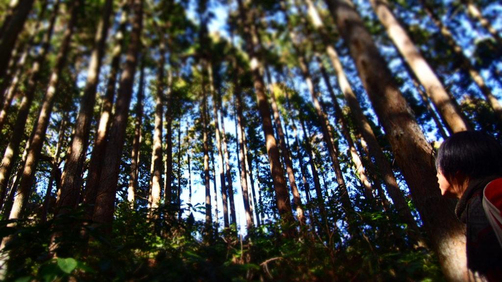 杉の木立1