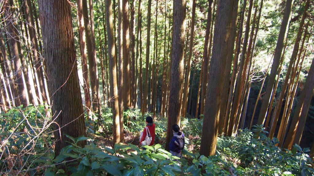 杉の木立3