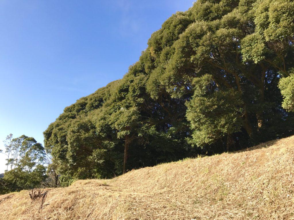 尾根沿いの原生林。