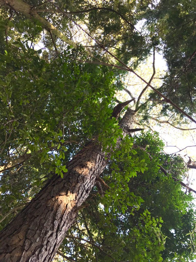 アカマツの木。