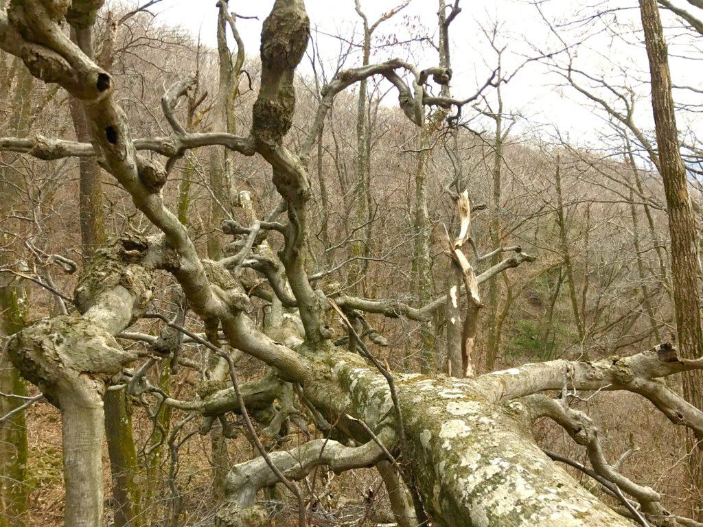 瘤のある木。