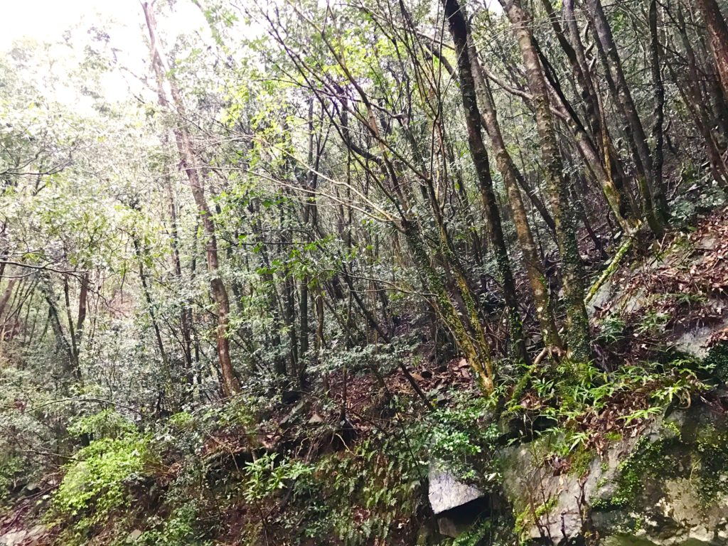 常緑樹の萌芽更新。