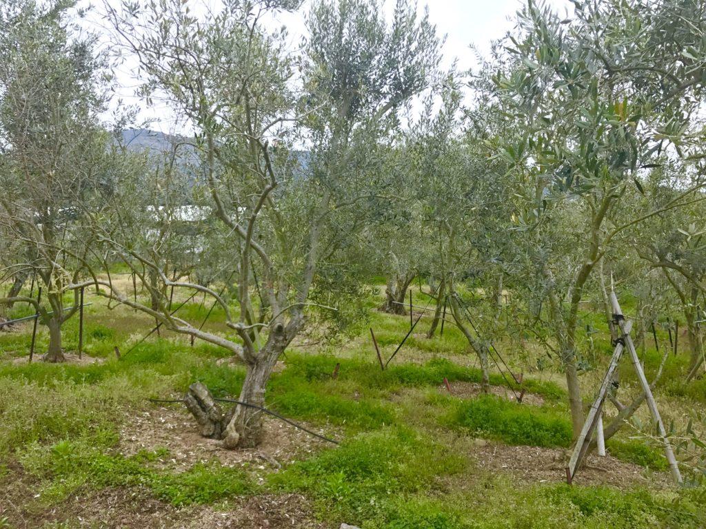 オリーブ畑1
