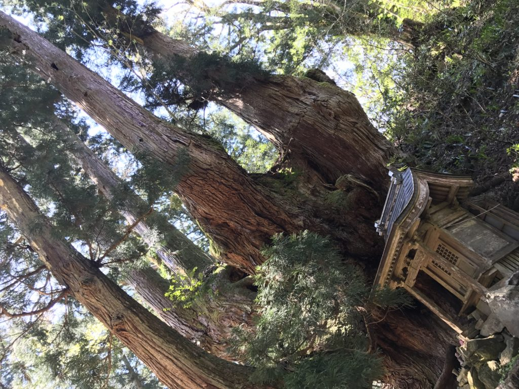 岩屋の大杉1