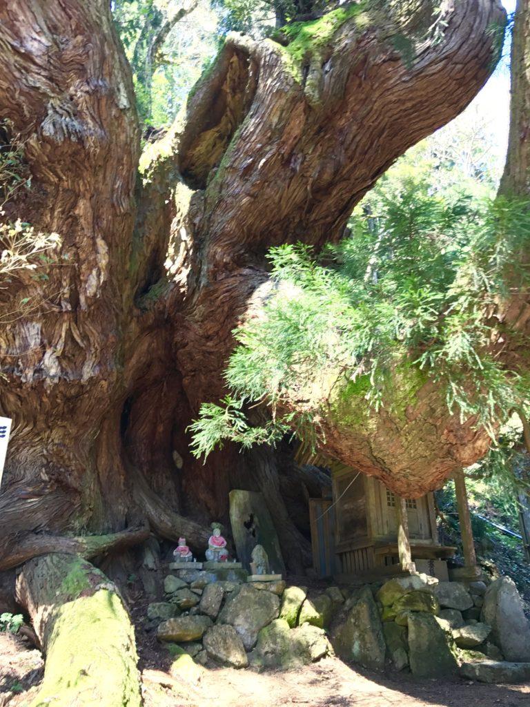 岩屋の大杉2