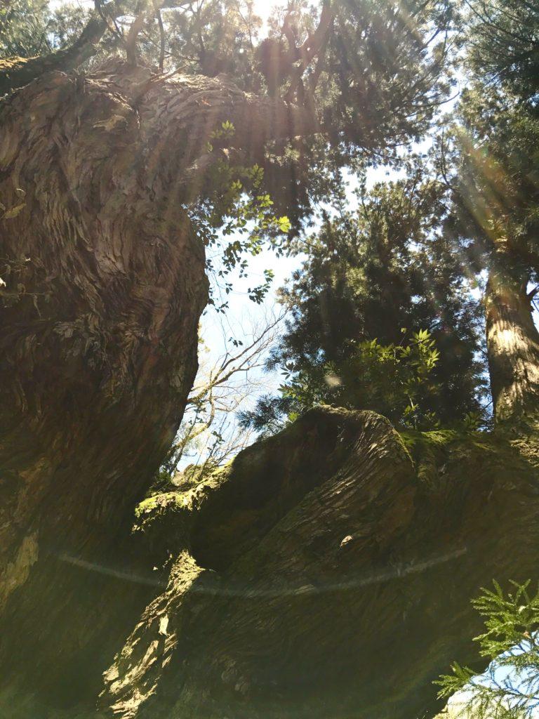 岩屋の大杉3