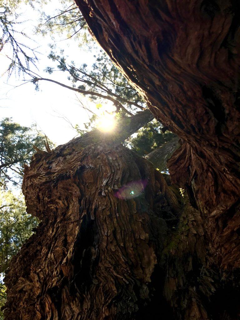 岩屋の大杉4