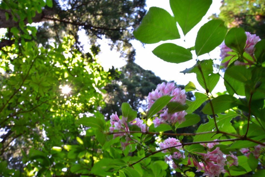 タニウツギの花。