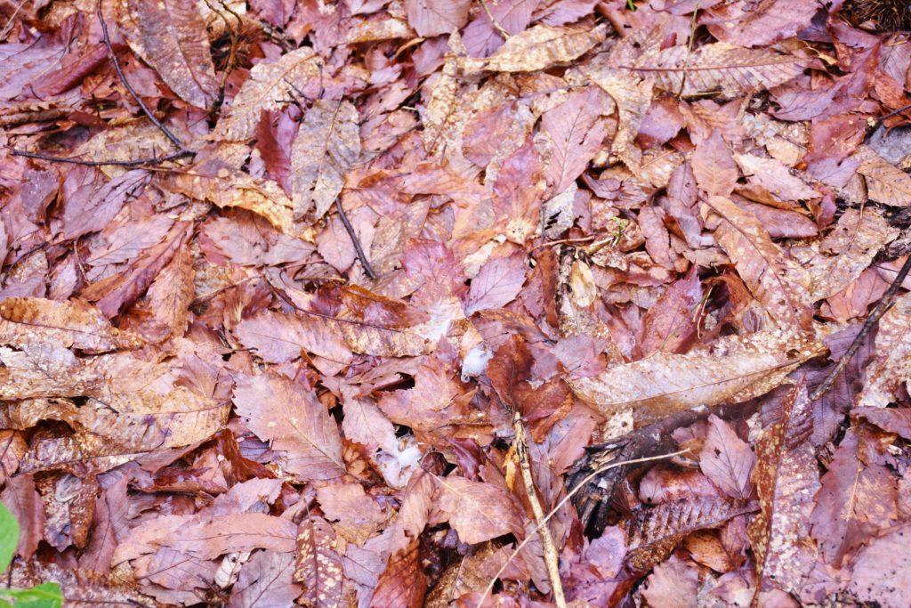 まだ湿った落ち葉。