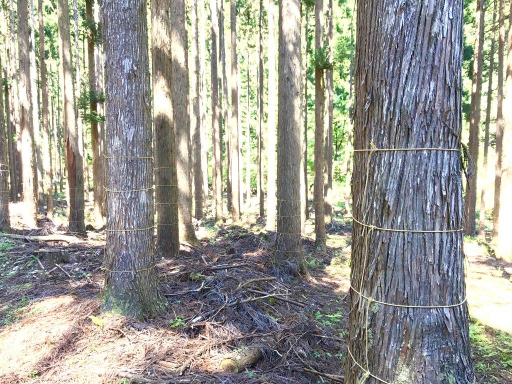 木の幹に縄。