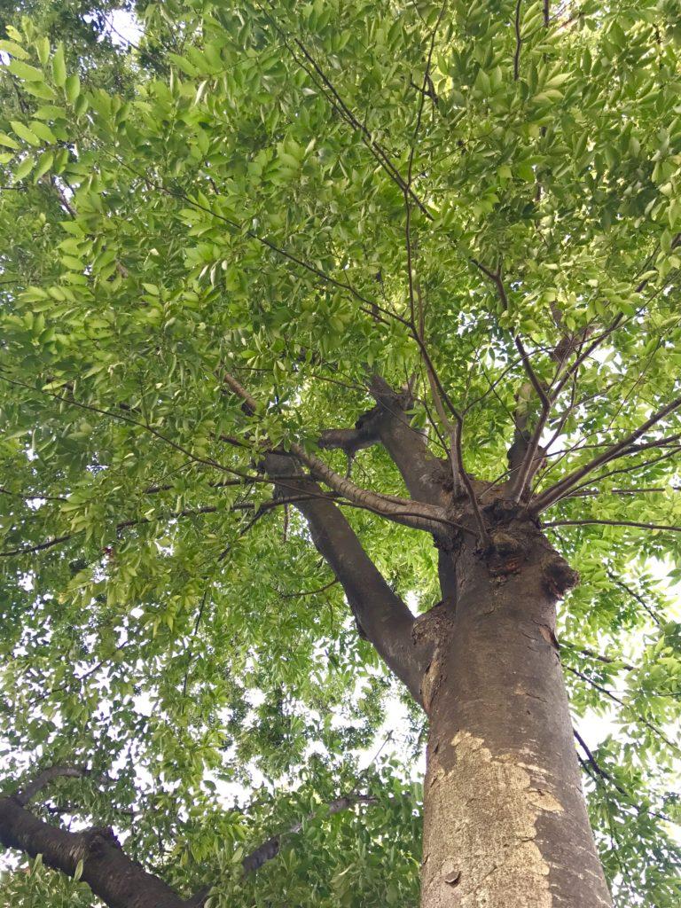 ケヤキの木。