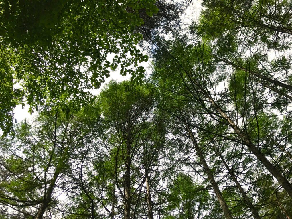 アカマツの木立。