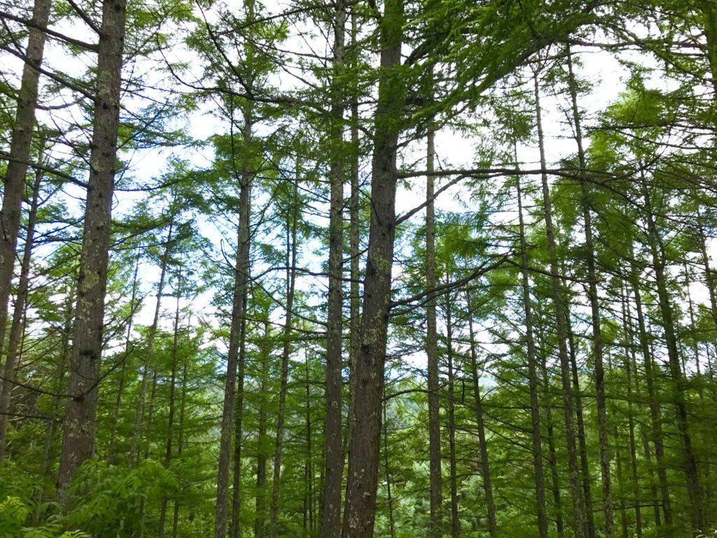 カラマツ林。