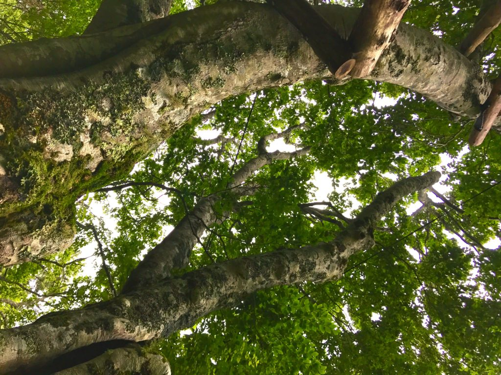 ブナの木4