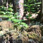日本三大美林の一つ、天然木曽ヒノキの森へ@赤沢自然休養林