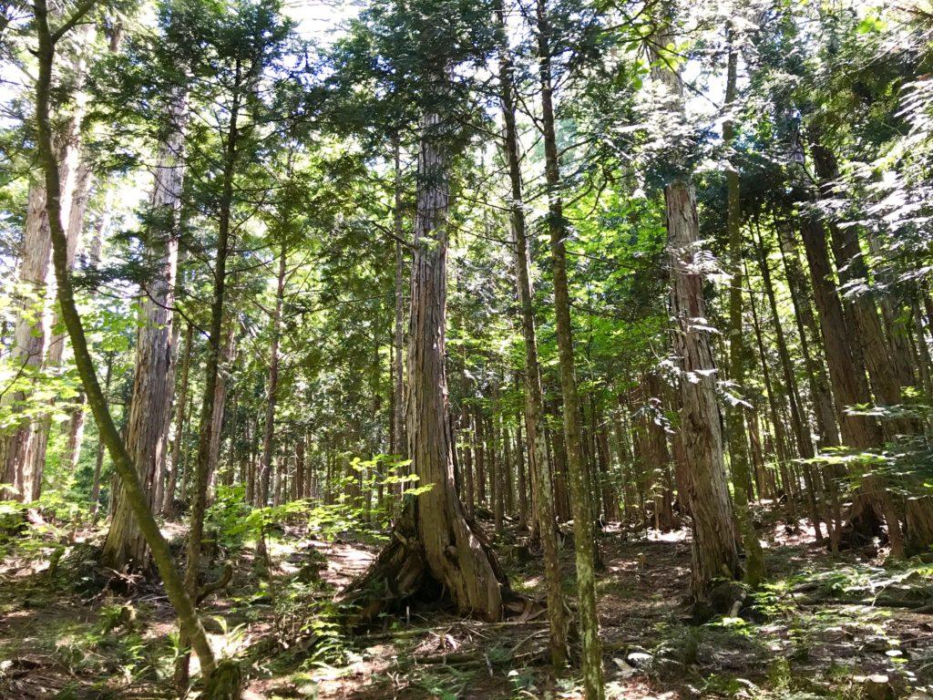 ヒノキの天然林。