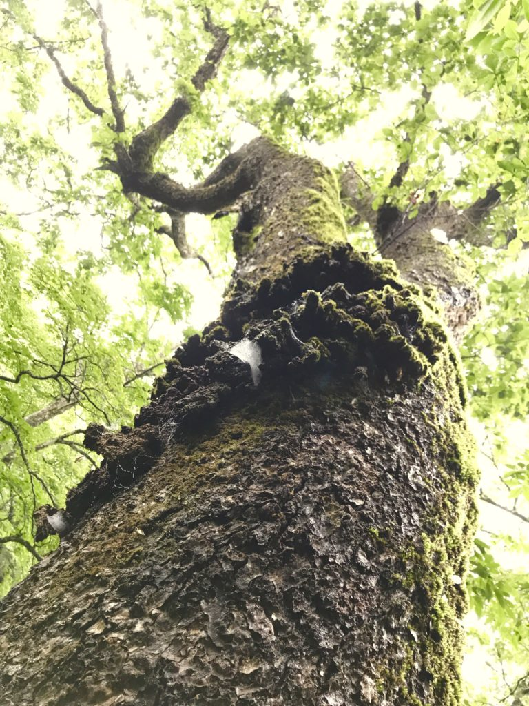 コブのある木。
