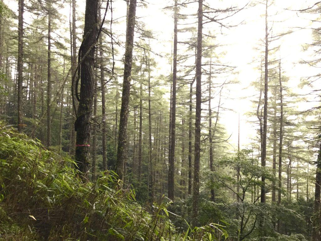 カラマツの林。