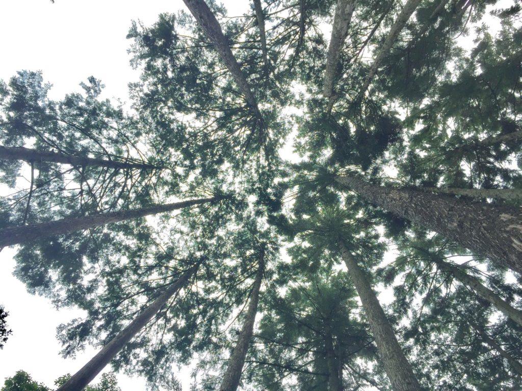 見上げた森。