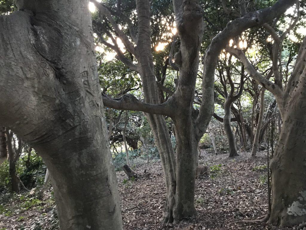 江の島の森。