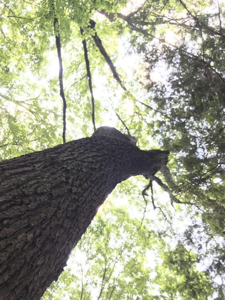 見上げた木。